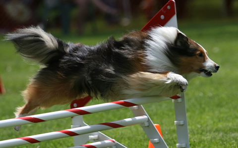 A collie dog jumping a training hurdle