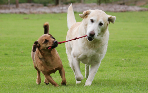 A small dog and a large dog playing tug of war with a length of cord